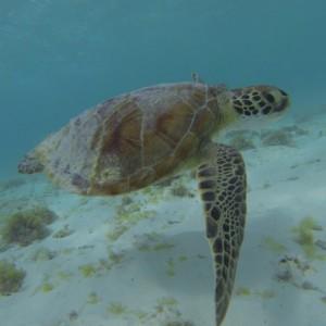 klein curaçao schildpad